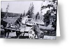 Feeding Bear Yellowstone National Park Greeting Card