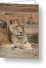Female African Lion Greeting Card