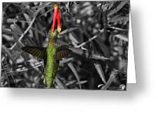 Female Anna's Hummingbird Greeting Card