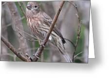Female House Finch  Greeting Card