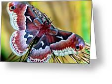 Female Promethea Moth Greeting Card