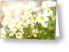 Field Of White Blossoms Greeting Card