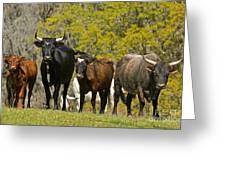Florida Spanish Cattle Greeting Card