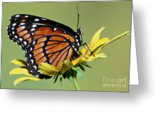 Florida Viceroy Greeting Card