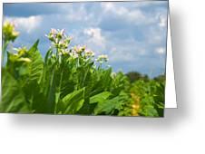 Flowering Tobacco Greeting Card