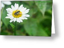 Fly On Daisy 3 Greeting Card
