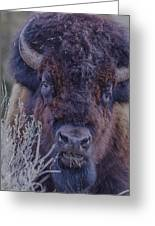Forest Bull Greeting Card