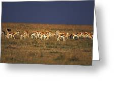 Gazelle De Thomson Gazella Thomsoni Greeting Card