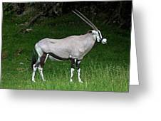 Gemsbok Oryx Gazella Greeting Card