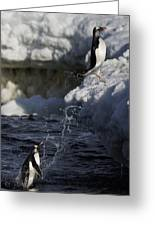 Gentoo Penguins Leaping Antarctica Greeting Card