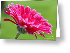 Gerbera Daisy Named Raspberry Picobello Greeting Card