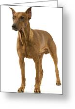 German Or Standard Pinscher Greeting Card