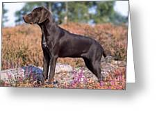 German Short-haired Pointer Puppy Greeting Card
