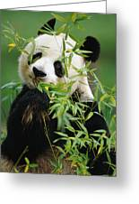Giant Panda Ailuropoda Melanoleuca Greeting Card