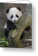 Giant Panda Cub In Tree Greeting Card