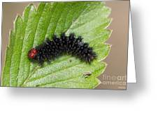 Glanville Fritillary Butterfly Caterpillar - Melitaea Cinxia Greeting Card