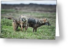 Golden Jackal Canis Aureus Greeting Card