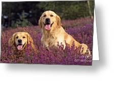 Golden Retriever Dogs In Heather Greeting Card