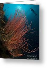 Grand Sea Whip With Diver Greeting Card