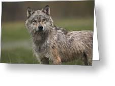 Gray Wolf  North America Greeting Card