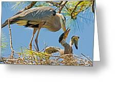 Great Blue Heron Adult Feeding Nestling Greeting Card