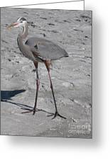 Great Blue Heron On The Beach Greeting Card