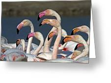 Greater Flamingos, France Greeting Card