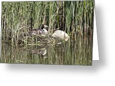 Grebe On Nest Greeting Card