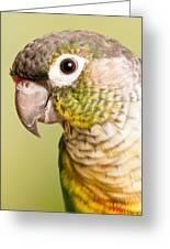 Green-cheeked Conure Pyrrhura Molinae Greeting Card