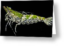 Green For Shrimp Greeting Card