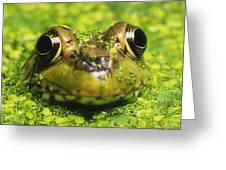 Green Frog Hiding In Duckweed Greeting Card