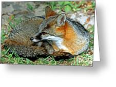 Grey Fox Greeting Card