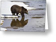 Grizzly Bear Stepping Into Water Greeting Card by Mike Cavaroc