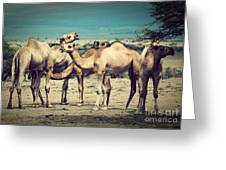 Group Of Camels In Africa Greeting Card