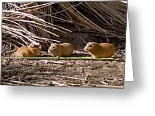 Guinea Pig Livestock At Lake Titicaca Peru Greeting Card