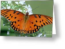 Gulf Fritillary Butterfly Greeting Card
