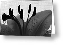 1 H Lily Nectar Drip Bw Greeting Card