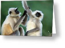 Hanuman Langurs Grooming India Greeting Card