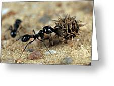 Harvester Ant Greeting Card