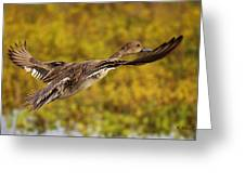 Hen Northern Pintail In Flight  Greeting Card