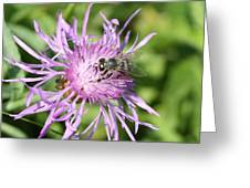 Honeybee On Ironweed Greeting Card