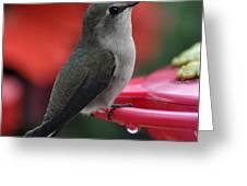 Hummingbird Anna's On Perch Greeting Card