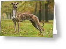 Hungarian Greyhound Greeting Card