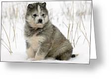 Husky Dog Puppy Greeting Card