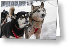 Husky Dogs Pull A Sledge  Greeting Card by Lilach Weiss