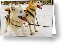 Husky Sled Dogs, Lapland, Finland Greeting Card