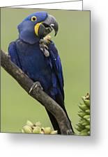Hyacinth Macaw Eating Palm Nut Greeting Card