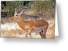Impala Greeting Card