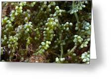 Invasive Seaweed Greeting Card by Science Photo Library