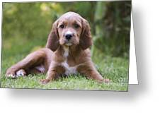 Irish Setter Puppy Greeting Card